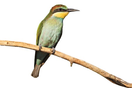 young bird with green plumage isolated on white,european bee eater