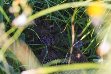 kuropatwa: young gray partridge hidden among the tall grass, hunting birds, a new generation