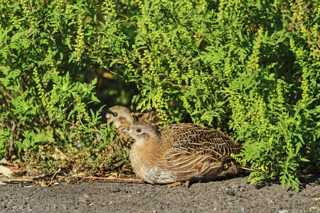 kuropatwa: young gray partridge sitting on the sidelines,young, summer