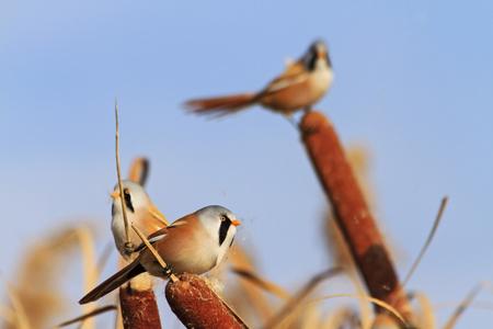 unusual birds with bright plumage,hidden birds, birds that live in the swamp,Bearded reedling
