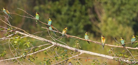 Panorama from Birds of Paradise,flock of colored birds, unique moment,european bee eater Stock Photo