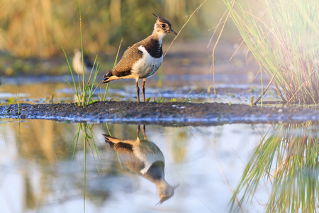 lapwing: Northern lapwing young bird reflection in water,bird,new generation,summer with sunny hotspot