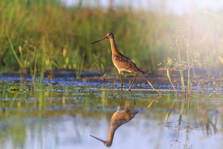 Black-tailed godwit and reflection on water,bird,sandpiper,migration with sunny hotspot