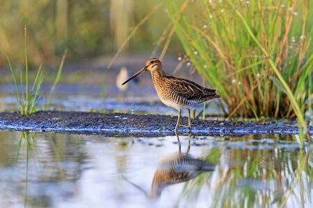 snipe at the edge of the swamp, hunting season, hunting bird rare frame