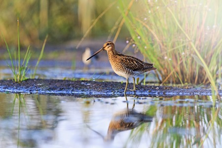common reed: snipe at the edge of the swamp, hunting season, hunting bird rare frame with sunny hotspot