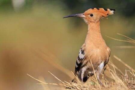 beautiful bangs: rare, beautiful bird with a colorful plumage, hoopoe, a bird with bangs, a unique moment