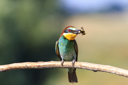 european bee eater with a bumblebee in its beak,colorful feathers, a unique moment, a wild bird