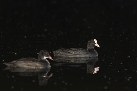 waterfowl: Coot with chick in the night on the lake, black birds, waterfowl, night life Stock Photo