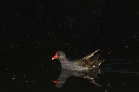nocturnal: Common moorhen in the night on the lake,swimming at night, nocturnal animals, nocturnal