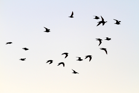 migrate: flock of shorebirds migrate south,the birds in the sky, silhouettes, Ruff
