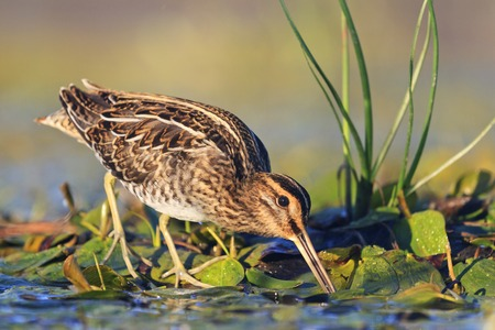 snipe gets food from under the mud,snipe, sandpipers, bird hunting, bird hunt is on, waterbirds, long beak