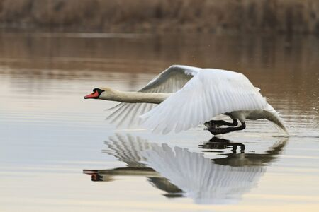 Mute swan running over water, great white bird reflection in the water, flying
