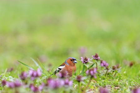 Chaffinch collects insects among pink flowers,singing birds, spring singing, beautiful picture Stock Photo