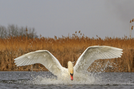 migrating: Mute swan halnuye legs and wings on the water,great white bird, unique moment, white wings, flight,