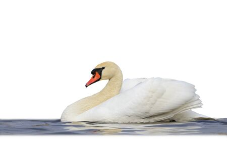 Mute swan floating on blue water isolated on white,great white bird, unique moment, white wings, flight,