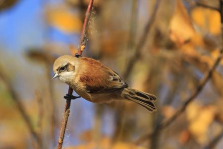 European penduline tit among gold leaves,birds, unique birds, beautiful colors, autumn, autumn leaves, golden color