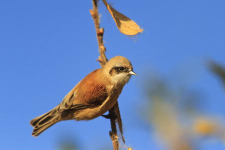 Eurasian penduline tit on a branch against the sky,birds, unique birds, beautiful colors, autumn, autumn leaves, golden color,