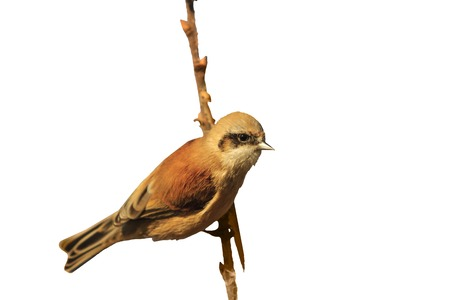 Eurasian penduline tit on a branch isolated on white,birds, unique birds, birds isolated on white background on a black background,