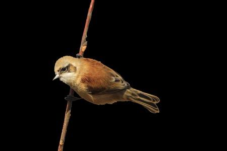 European penduline tit isolated on black,birds, unique birds, birds isolated on white background on a black background,