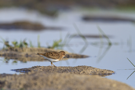 small sandpiper islands of water,Temmincks ,migration