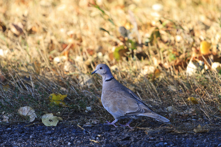 eurasian: Eurasian collared dove and autum