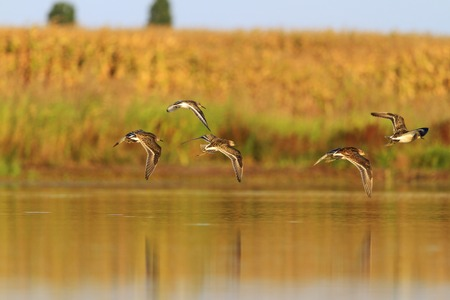 autum: Sandpiper ruffs flock flying at a autum Stock Photo