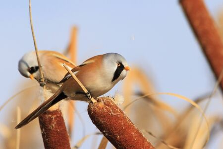 Two birds eat among thickets,autumn landscape with interesting bird,bearded reedling Panurus biarmicus Stock Photo