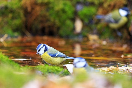 birds in autumn watering,colored bird on dry tree,Eurasian blue tit ,Cyanistes caeruleus,autumn, leaves falling, Stock Photo