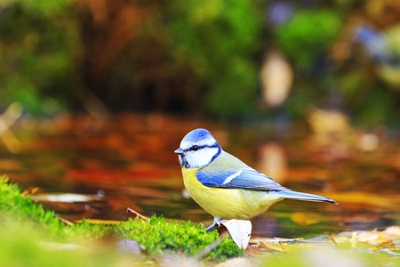 Eurasian blue tit to take a drink of fallen leaves,colored bird on dry tree ,Cyanistes caeruleus,autumn, leaves falling,