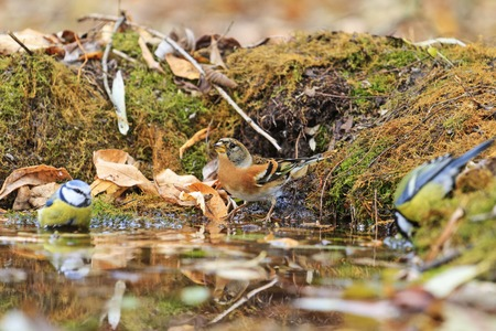 Two different types of birds in the autumn watering,birds drink water puddle autumn, fallen leaves, colorful leaves, bird migration Stock Photo