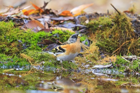 adult brambling on autumn puddle,birds drink water puddle autumn, fallen leaves, colorful leaves, bird migration