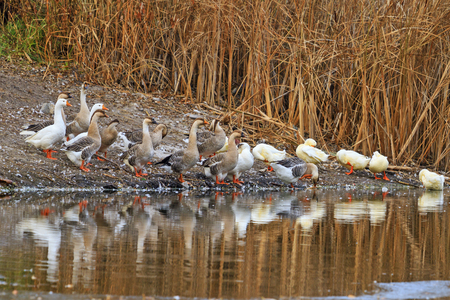 Domestic geese and ducks Stock Photo
