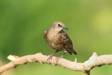 curiously: Starling curiously looks in the frame,young bird, black bird