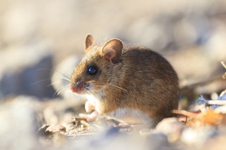 rodents: field mouse sitting among the rocks,animals, wildlife, rodents Stock Photo