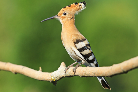 hotbed: hoopoe sitting on a branch on a green background,colorful feathers, the bird disappears, bangs,Upupa epops