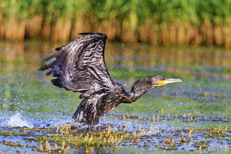 suliformes: Great cormorant off from water,bird disappears, rare bird, beautiful bird