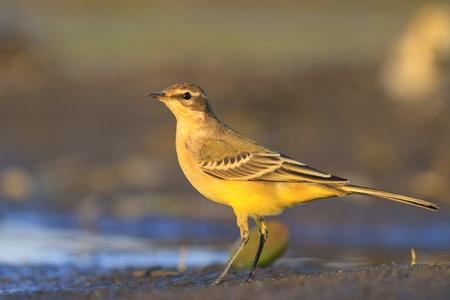 motacilla: lavandera amarilla sobre un fondo oscuro de la luz, de la tarde en las aves de riego, la migración, la generación más joven