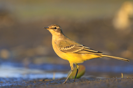 motacilla: yellow wagtail on a background of dark,Evening light on watering birds, migration, the younger generation