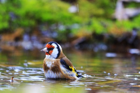 sweden resting: Carduelis carduelis bathing in forest lake,autumn colored bird, unique moment,