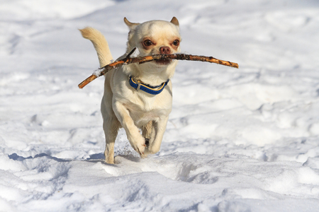 Chihuahuas running in the snow and has a branch cute, baby face, small dog, glamor Stock Photo
