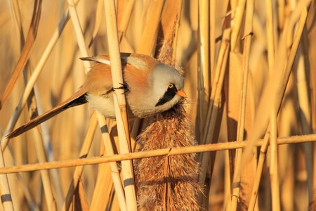 Panurus biarmicus among thickets of reeds looking for food,frosty winter, sunny day, the morning light Stock Photo