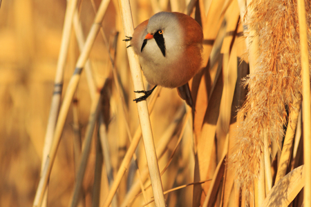 the watcher: Panurus biarmicus sitting on a reed,frosty winter, sunny day, the morning light