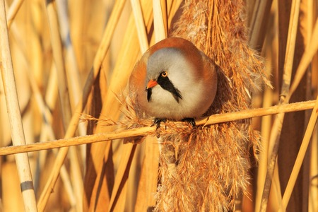 bird watcher: Bearded reedling sitting on a reed and hiding from the cold,frosty winter, sunny day, the morning light