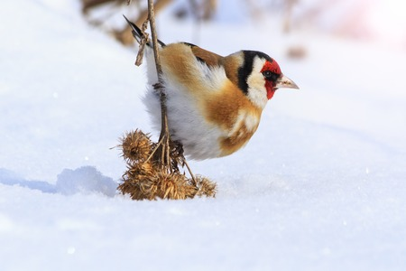 Goldfinch sitting on a burdock lowered him to the ground with sunny hotspot,bird park in birds, birds winter survival