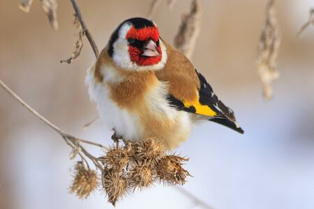 Goldfinch sitting on a burdock in winter sunny day,colored bird in the snow, cold, frost, fun time,Carduelis carduelis Stock Photo