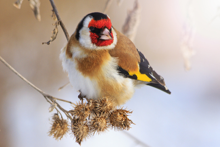 photgraphy: Goldfinch sitting on a burdock in winter sunny day with sunny hotspot,colored bird in the snow, cold, frost, fun time,Carduelis carduelis Stock Photo