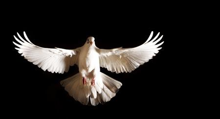 witte duif met open vleugels vliegen op een zwarte achtergrond, postduif, symbool van vrede, geïsoleerd voorwerp