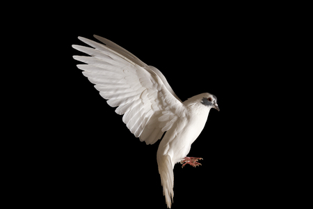 white dove of peace flying on a black background,postal dove, symbol of peace, isolated object Stock Photo