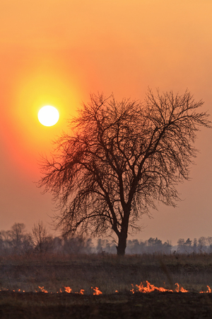 lonely dry tree during the spring grass burning,sunset, natural disaster, fire