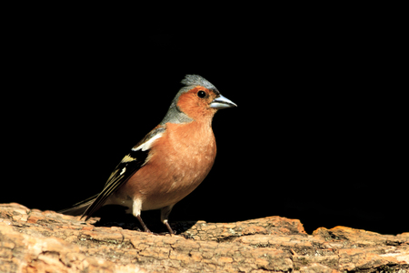 Common chaffinch sitting on a stump on a black background,songbird, forest bird Stock Photo